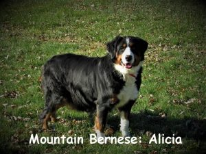 Alicia is the chubby, gentle one in our family of dogs. She is a very sweet and loving girl and great with children.A gorgeous dog,her puppies are a great choice!