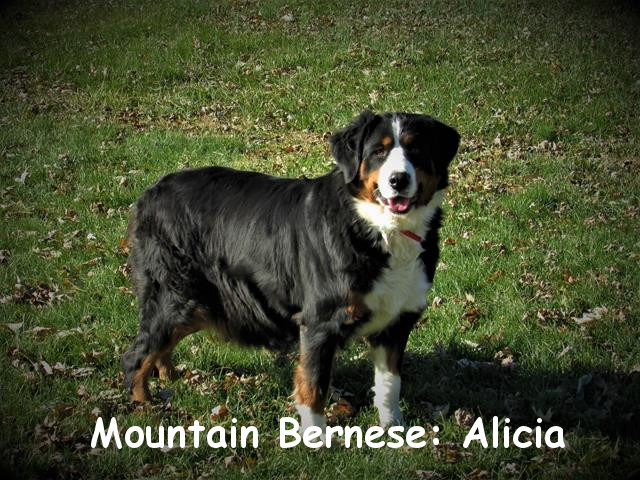 Alicia is the chubby, gentle one in our family of dogs. She is a very sweet and loving girl and great with children. A gorgeous dog, her puppies are a great choice!