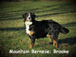 Brooke has an amazing personality. She loves people especially children. She is always friendly and seldom excited. She is the first to come running to greet us and soaks up all the love and attention she can get.