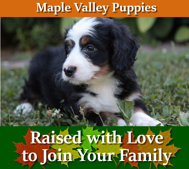 Maple Valley Puppies Bernedoodle Goldendoodle Puppies