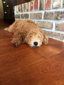 Maple Valley Puppies   Adoptions
