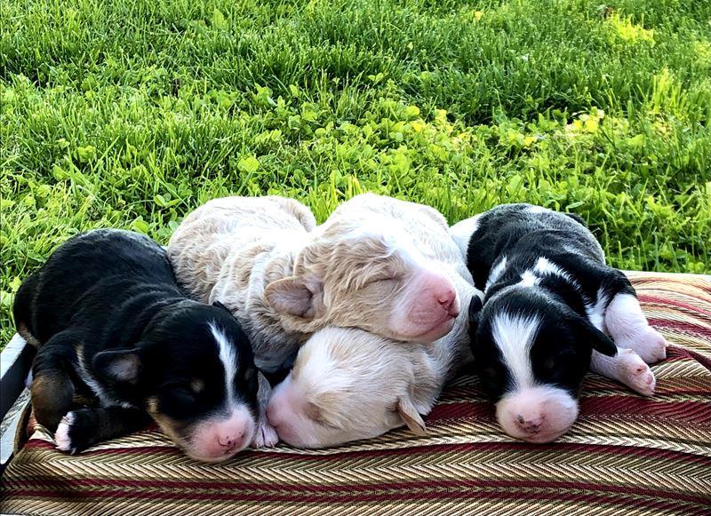 Annika's Male Puppies - Born 05/11/21