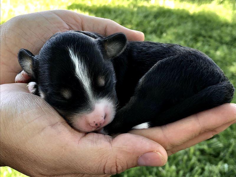 Annika's Male Puppy - Born 05/11/21